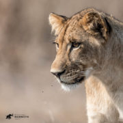 Gorongosa lion cub