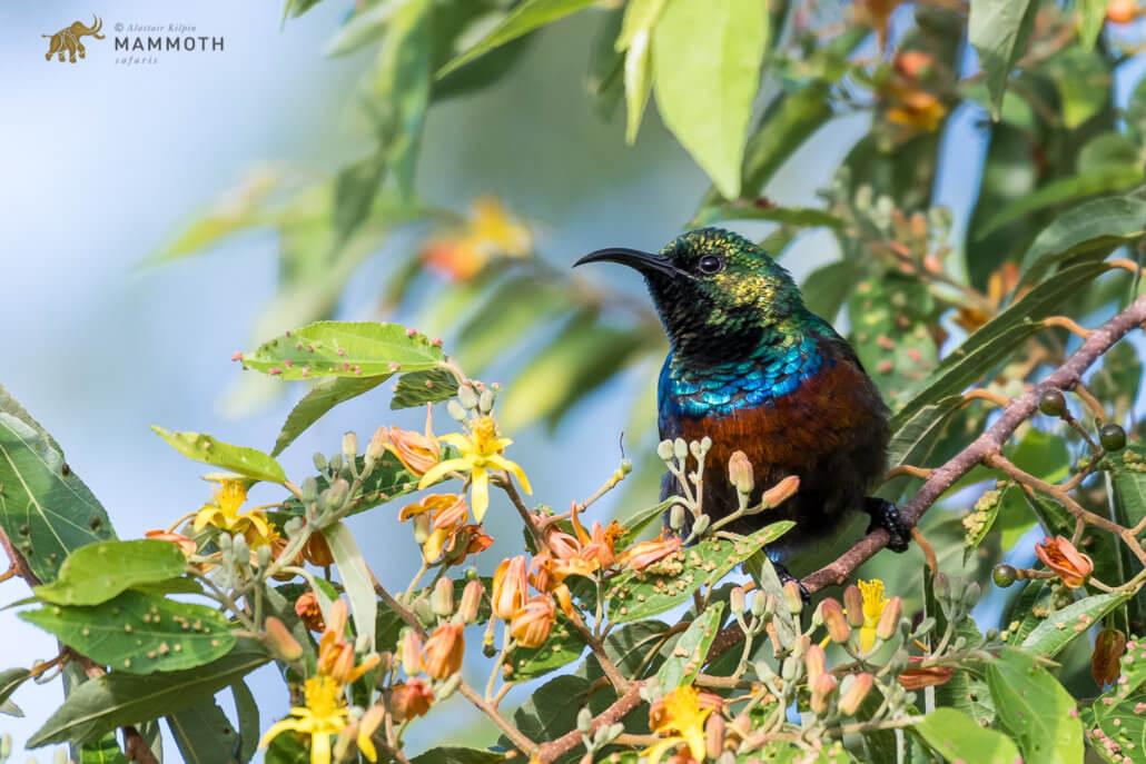 Marico Sunbird Akagera