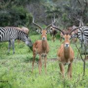 Impala Akagera