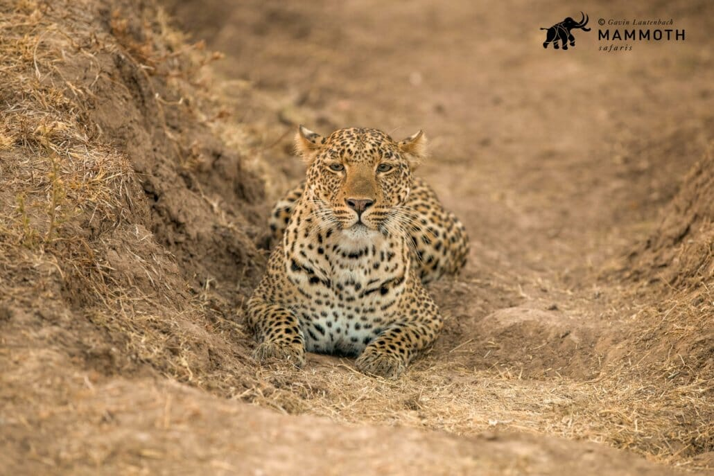 Leopard crouching