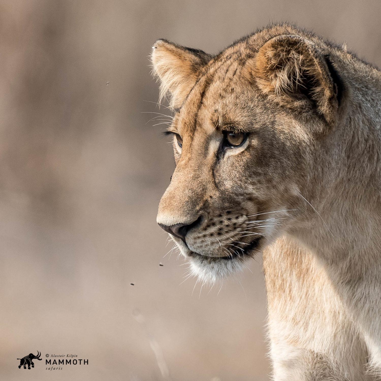 Gorongosa lion cub